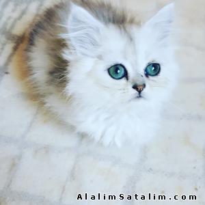 Hayvanlar Alemi Evcil Hayvanlar Kedi  Chinchilla  - Özel Bir renk Silver Chinchilla