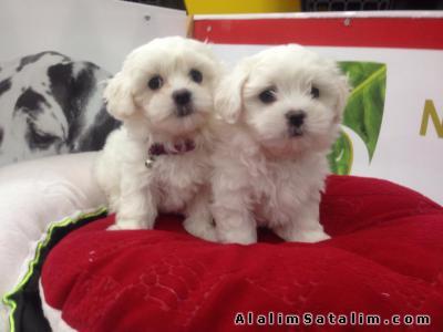 Hayvanlar Alemi Evcil Hayvanlar Köpek Maltese Terrier  - SATILIK MALTESE TERRİER YAVRULARI