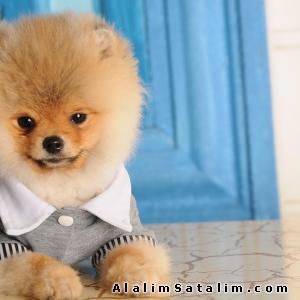 Hayvanlar Alemi Evcil Hayvanlar Köpek Pomeranian  - Orjinal Pomeranian Boo yavrulari 0538 8861515