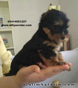 satılık sıfır numara yorkshire terrier - #4010595 ...