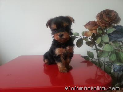Satılık 0 numara Yorkshire Terrier Yavruları - #496448 ...