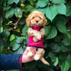 MİNİ TOY POODLE YAVRULAR SATILIK 0538 377 80 08