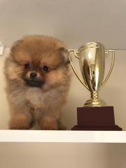 Pomeranian Boo Baba Şampiyon