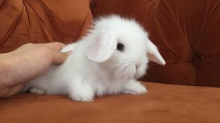 Safkan Irk Hollanda Lop Tavşanı- Kocaeli