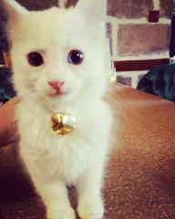 Van kedisi orjinal 2 göz rengi NADİR bulunur