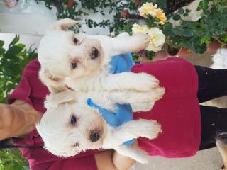 Irk garantili beyaz terrier yavrular 05334955307