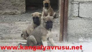 satılık kangal-DİRİLİŞ KANGAL KÖPEK ÇİFTLİĞİ