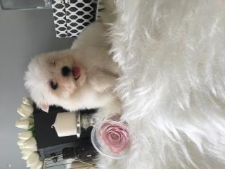 Xxs özel maltese terrier yavrular 05059886484
