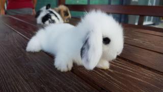 Hollanda Teddy Lop Tavşanı Çiftliği