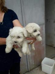 Kar beyaz Maltese yavrular