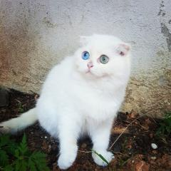 Özel Bir Irk Odd Eyess Safkan Scottish Fold