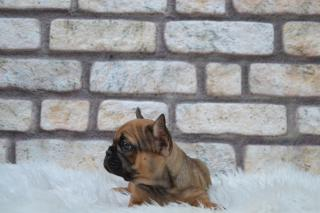 FRENCH BULLDOG İZMİR 0507 077 52 30