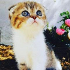 13 Aylık dişi Golden white Scottish Fold