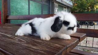 Kocaeli- Hollanda Lop Tavşanı