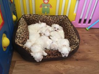Maltese Terrier Minik Sevimli  Bebeklerimiz
